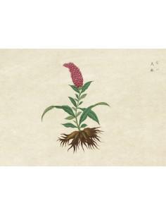 Lámina Botánico Asia 3