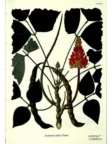 Lámina Leguminosa Archivo Mutis...