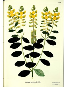 Lámina Leguminosa Archivo...